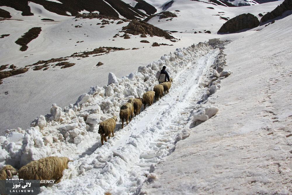 رهایی «عسلکشان کوهرنگ» از برف