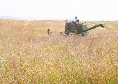 ۲۹۰ تن محصول کلزا از مزارع شهرستان لالی برداشت شد