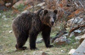خرسهای قهوهای؛ کابوس این روزهای عشایر کوهرنگ/سه مورد حمله خرس در کمتر از۱۰ روز در کوهرنگ