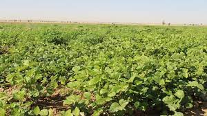 کشت 17 هکتار محصولات تابستانه در مزارع کشاورزی مناطق پلی و چم برکه شهرستان لالی